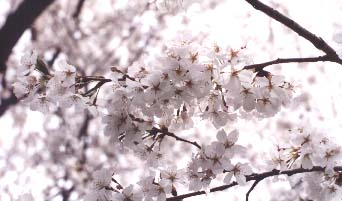 [photo of cherry blossoms up close]